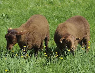 De nouveaux moutons arrivent en ville!
